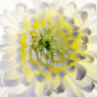 White flower macro shot — Stock Photo
