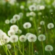 Dandelion on green grass background - Stock Photo