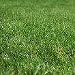Green grass macro photo - Stock Photo
