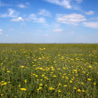 Stock Photo: Flower field under blue sky