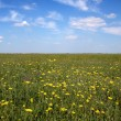 Flower field under blue sky — Stock Photo