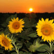 Sunflower field in the sunset - Stock Photo
