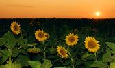 Sunflower field in the sunset — Stock Photo