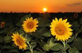 Zonnebloem veld in de zonsondergang — Stockfoto