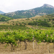 Vineyards with mountains on background — Stock Photo