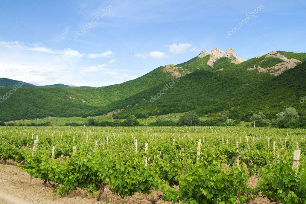 Vineyards with mountains on background on a sunny day  Stock Photo #5884511
