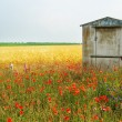 Stock Photo: Wheat field with poppies on foreground