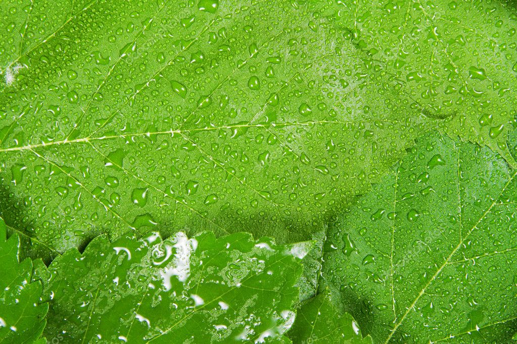 Green leaves background, close up studio photo — Stock Photo #6097758