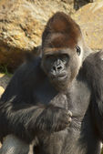 Close-up of gorilla — Stock Photo