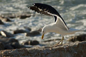 Seagull landing on rocks — Stock Photo