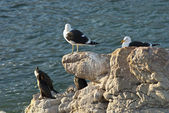 Seagulls and penguins on rocks — Stock Photo