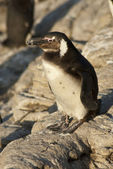 Penguins on a rocky beach — Stock Photo