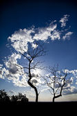 Tree silouette wit blue skies — Stock Photo