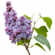 Purple Lilac flowers isolated on white — Stock Photo #6003409