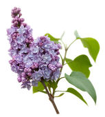 Purple Lilac flowers isolated on white — Stock Photo
