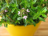 Blossoming winter savory in flowerpot — Stok fotoğraf