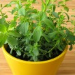 St. John's Wort in flowerpot — Stock Photo
