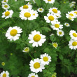 Dyer camomile, Anthemis tinctoria - Stock Photo