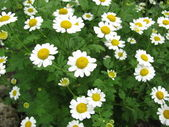 Dyer camomile, Anthemis tinctoria — Stock Photo