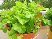 Lettuce in hanging basket on balcony — Stock Photo