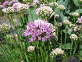 Ornamental onion, Allium senescens — Stock Photo