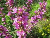 Purple loosestrife, Lythrum salicaria — Stock Photo
