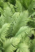 Leaves of Fern — Stock Photo