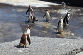 Humboldt-pinguïn — Stockfoto
