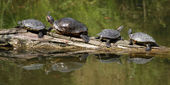 Red Eared Slider — 图库照片