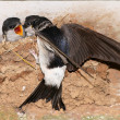 House Martin chicks being fed. - Stock Photo