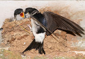 House Martin chicks being fed. — Stock Photo