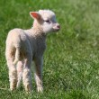 Spring Lamb. - Stock Photo