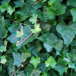 Ivy background — Stock Photo #5600239
