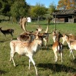 Group of fallow deer — Stock Photo