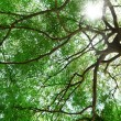 Stock Photo: Maple canopy