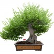 Stock Photo: Green bonsai tree