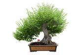 Green bonsai tree — Stock Photo