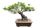 Traditional bonsai tree — Stock Photo