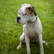 Boxer Puppy Dog — Stock Photo