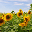 Sunflower Filed - Stock Photo