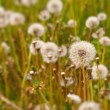 Dandelion field - Stock Photo