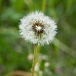 Dandelion — Stock Photo