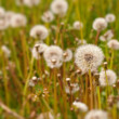 Dandelion field — Stock Photo