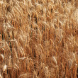 Wheat close-up - Stock Photo