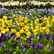 Stock Photo: Flower-bed