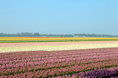 Niederländische zwiebel-feld — Stockfoto
