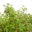 Fresh Oregano in closeup - Stock Photo