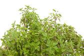 Fresh Oregano in closeup — Stock Photo