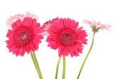 Pink Gerber flowers in closeup — Stock Photo