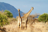 The Masai Giraffe — Stock Photo